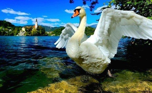 swan lake Slovenia