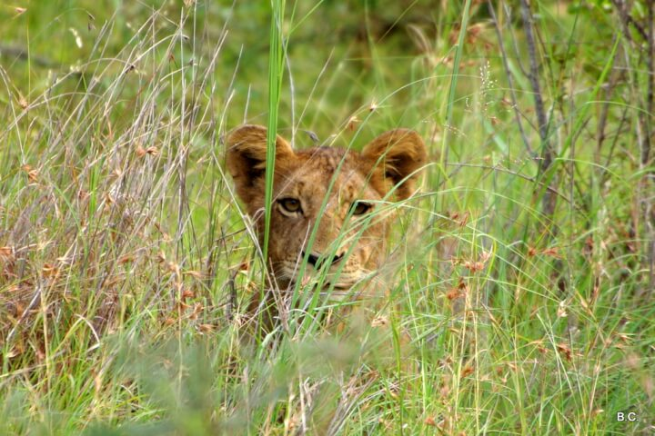 It takes mindful searching to find the ears of an infant lion poking out of tall yellow grass.
