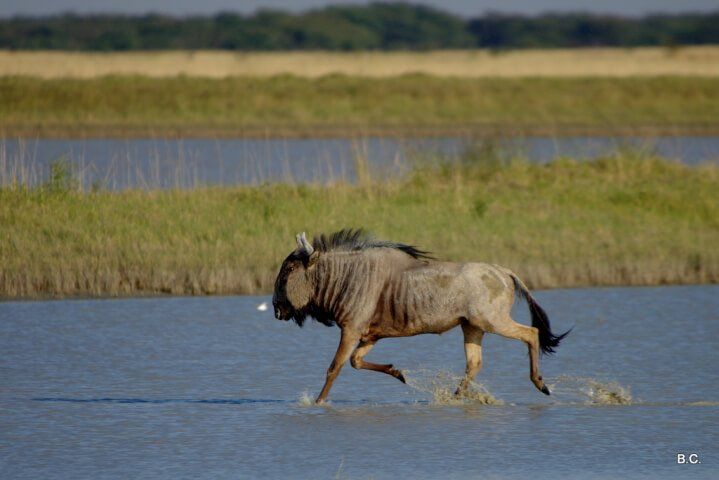 Wildebeest roaming freely in Botswana's Nata Bird Sanctuary.
