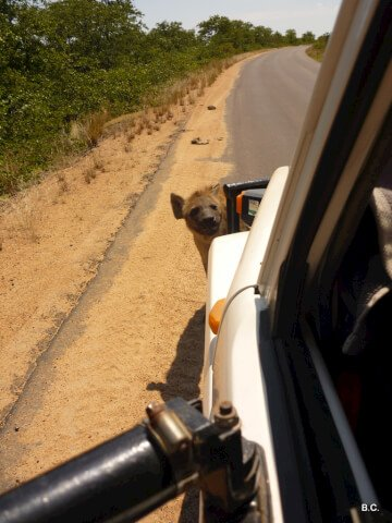 We'd been parked on the road so long that this baby hyena became very curious indeed!