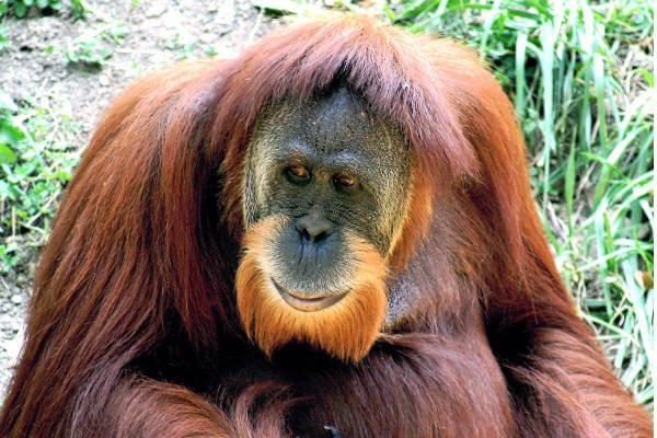 borneo-best-things-to-do-orangutan