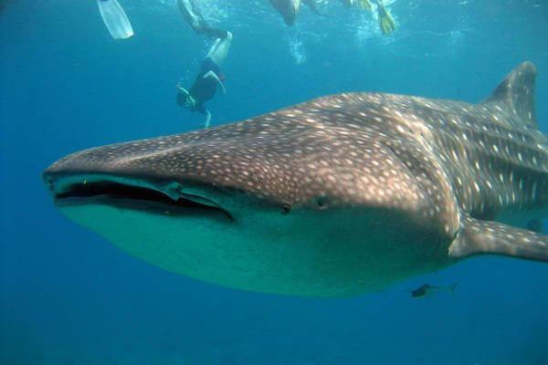 things-to-do-in-maldives-whales
