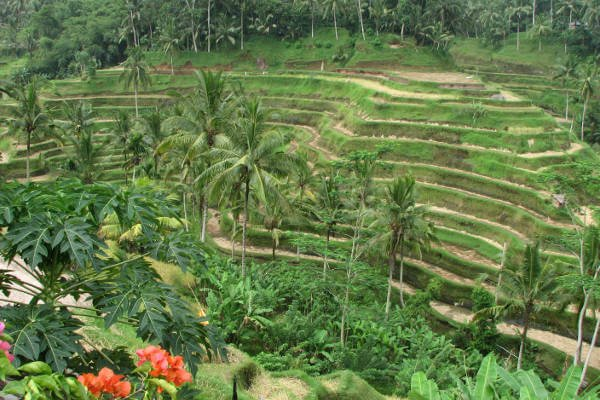 Rice_Terraces_in_Ubud