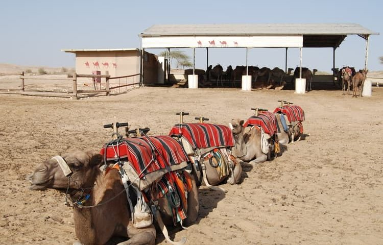 israel camel train